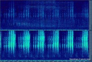 Grasshopper recording 96kHz rec - 1sec