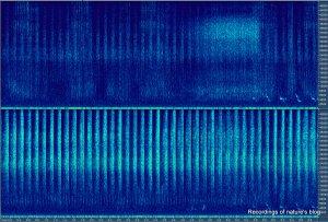 Grasshopper recording 96kHz rec - 7sec