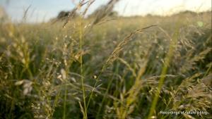 Midsummer Amager Fælled, green grass II