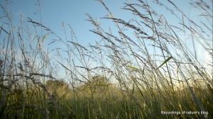 Midsummer Amager fælled green grass IV