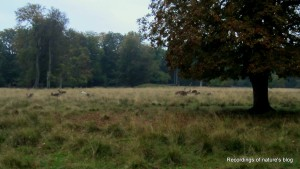 Red deers are common in Dyrehaven