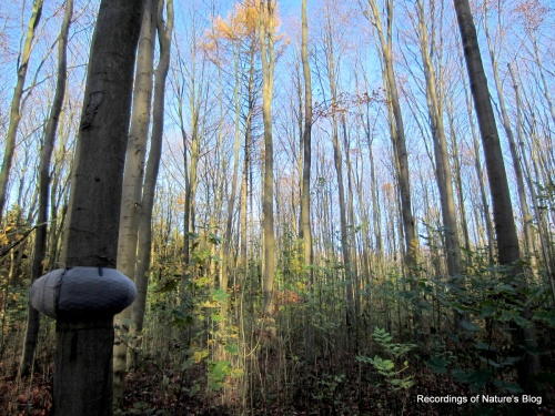 November forest and microphones on tree trunk